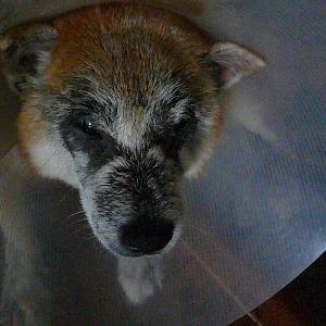 米国獣医が治せなかった柴犬の皮膚病が新薬と手羽先の先で完治したとお礼の投稿🐶無水ひば油エタノール液はブログ「愛犬問題」が考案した皮膚病治療薬🌻