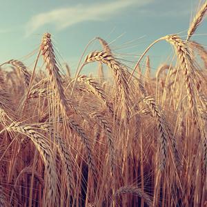 小麦・大麦・ライ麦の違いって何?アレルギーやカロリーなど