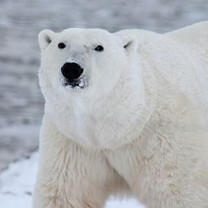 シロクマ(白熊)とホッキョクグマの違いって何?【3分で解説】