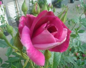 植物公園の薔薇