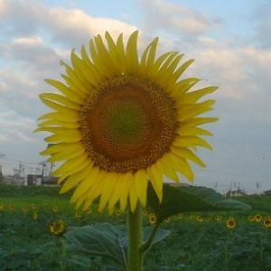 朝の向日葵