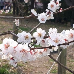 せんだい農業園芸センター【梅を見る会2020】見頃の梅・臥龍梅を楽しもう♪