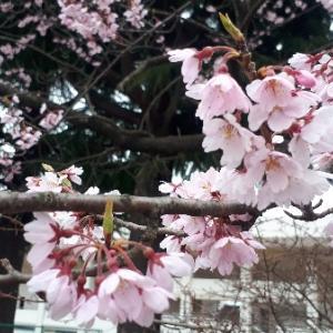 春の散歩は【楽天生命パーク周辺】がおすすめ!桜スポットでお花見も
