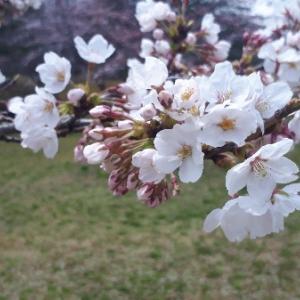 【仙台市泉区】ドライブで桜を楽しむなら将監・寺岡がおすすめ♪