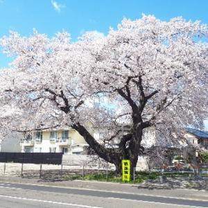 【仙台市宮城野区】お花見情報!旧医療センター裏の桜の大木はどうなった?