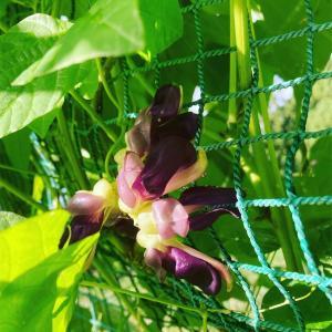自然栽培「ムクナ豆」