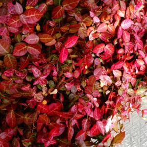 足元の紅葉★早過ぎたかもしれない冬支度