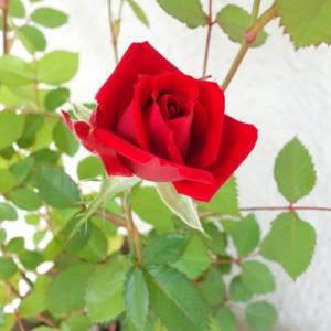 ミニ薔薇一輪★真実の色