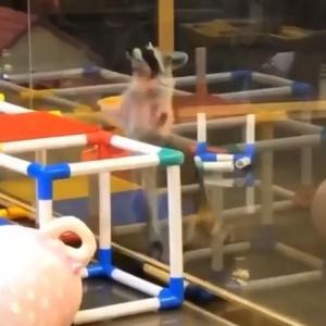 【動画】アライグマくんの跳躍力がほぼ5歳児レベルな件w