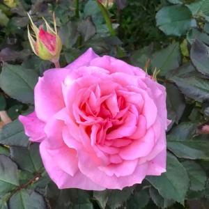 少女が大人になる瞬間は、バラのように美しい 。。。