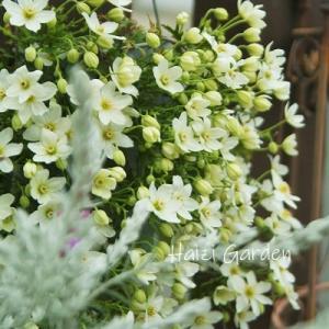 クレマチスの小花がキラキラ♪