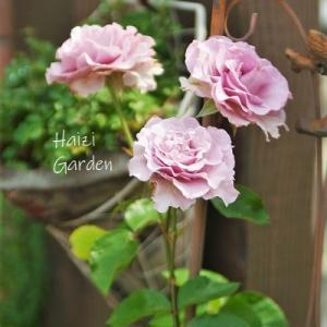 あの姉妹バラのナウ&赤い小花のポテンティラ~♪