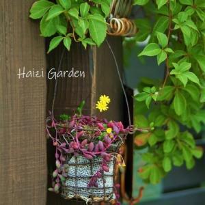 メイン花壇のフロント改造!&ペンタスの越冬準備