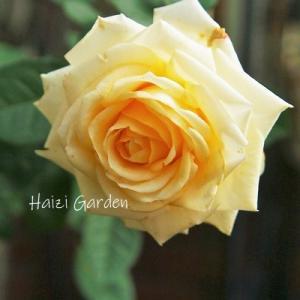 白くて可愛いレウィシア&リトープスの花