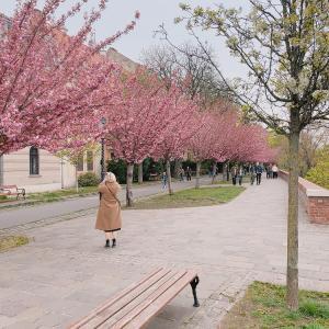 【ブダ王宮周辺】お花見散歩♪
