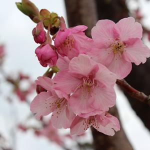 城山歴史公園桜まつり