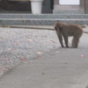 わたし 野生のお猿ちゃんです よろしく