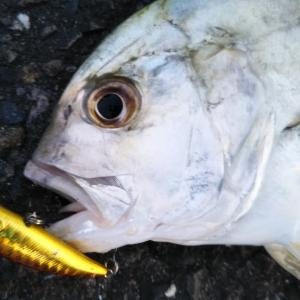 【7月釣果報告】漁港、サーフ、河川での釣果報告。釣れた魚種、釣れたルアーなど。【ライトゲーム】
