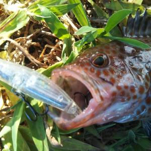 【オオモンハタを狙う】漁港のライトゲームでルアーを使ったオオモンハタの釣り方【ライトハタゲーム】