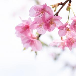 「河津桜」鶴見川の河津桜は四分咲き