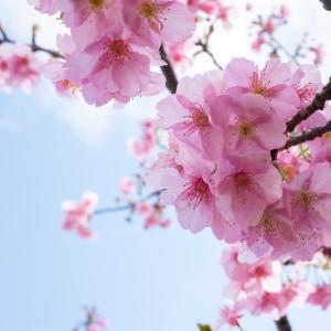 「河津桜」鶴見川サイクリングコースで楽しめる春の花