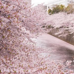 「目黒川の桜」散り始めはピンクの川が楽しめる