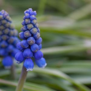 「ムスカリ」庭造りに重宝されている園芸種