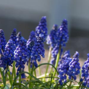 ムスカリの花