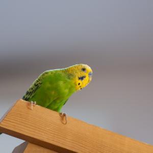 「セキセイインコ」黄緑以外は交配で増やされた種