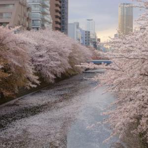 目黒川に散った桜の花筏が美しい