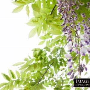 「藤の花」〜右巻きのノダフジ・左巻きのヤマフジ