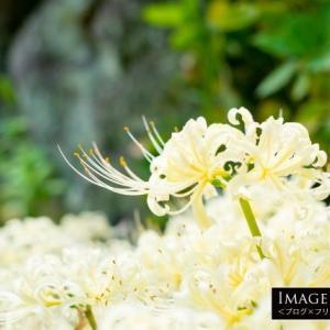 西方寺の「白い彼岸花(曼珠沙華)」