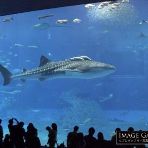 「美ら海水族館・黒潮の海」ジンベエザメが泳ぐ大迫力の水槽