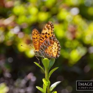 「ツマグロヒョウモン」勢力を北にのばしている南方系の蝶