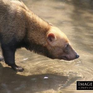 「ヤブイヌ」動物園の隠れた人気物のヤブイヌを見に行こう!