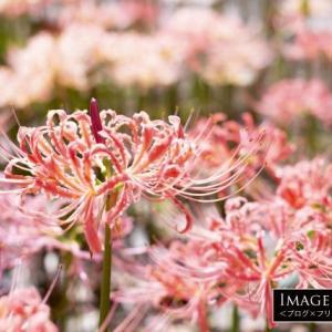 「ピンクの彼岸花」日本でも楽しむ人が増えてきたリコリス