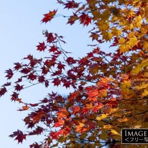 「紅葉したもみじの葉」色素の違いで変わる葉の色づき