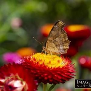 夏型と秋型で色が違うキタテハという蝶