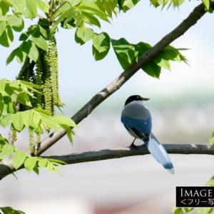 「オナガ」ブルーグレイの羽根が綺麗な鳥