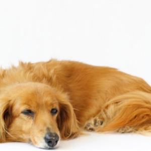 愛犬がシニア期に入ったら 食事・散歩・歯のケアなど気を付けたい事