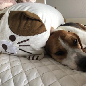 保護犬ビーグル ニコ