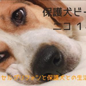 保護犬ビーグルニコ 1ヶ月