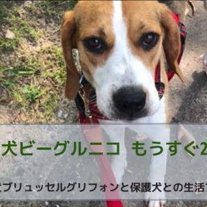 保護犬ビーグルニコ もうすぐ2ヶ月