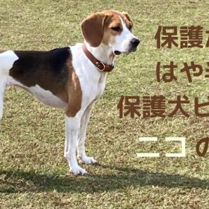 保護から はや半年 保護犬ビーグルニコの近況
