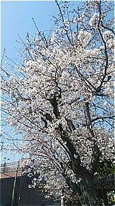 今年の桜は・・・