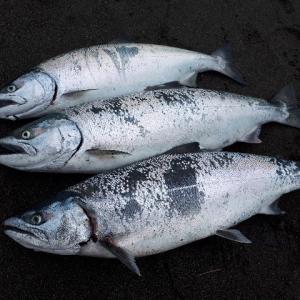 道北日本海サーフでサクラマス釣り