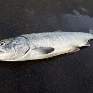 まさかの鮭釣り延長戦!極寒の中、斜里でアキアジが本当に釣れちゃった。