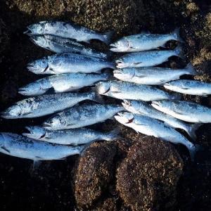 ★奇跡のサクラマス大爆釣★ 道南日本海、熊石方面へ