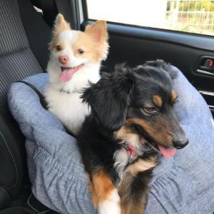 ふく、車酔いを克服したよ♪犬の車酔いは克服できる!