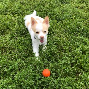 ボールにこだわりがあるらしいミックス犬